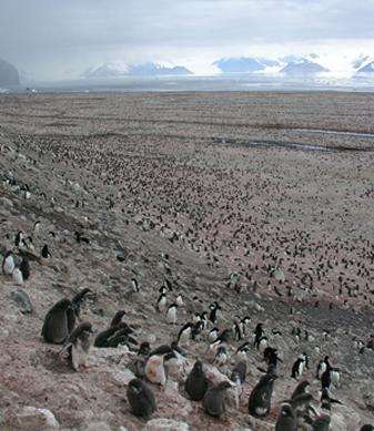 Cape Adare penguin colony