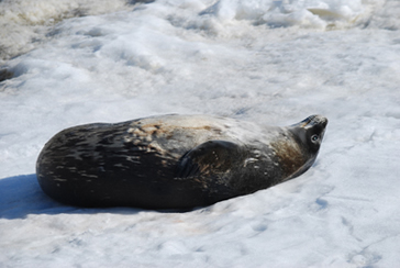 Weddell seal on ice