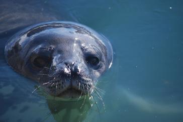 Weddell Seal by Zucchelli Station